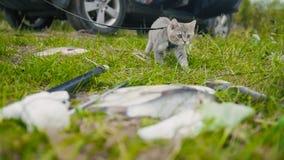 Gato británico del shorthair que camina cerca de la lanza que pesca pescados de agua dulce en la hierba en acampar imagen de archivo