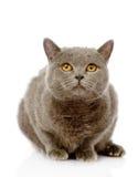 Gato británico del shorthair que se sienta en frente Aislado en blanco Imagen de archivo