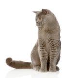 Gato británico del shorthair que se sienta en frente y que mira lejos Aislado Fotos de archivo