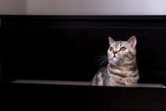 Gato británico en caja Foto de archivo