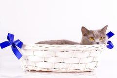 Gato británico en el fondo blanco Foto de archivo