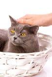 Gato británico en el fondo blanco Imagen de archivo