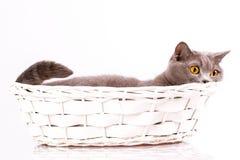 Gato británico en el fondo blanco Fotos de archivo libres de regalías