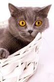 Gato británico en el fondo blanco Imagen de archivo libre de regalías
