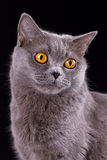 Gato británico en un fondo negro Imagen de archivo libre de regalías