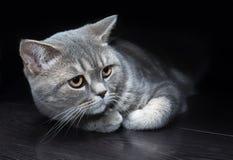 Gato británico en un piso negro Imagenes de archivo