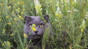 Gato británico en una hierba verde almacen de video