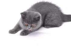 Gato británico - gatito. Fotos de archivo libres de regalías
