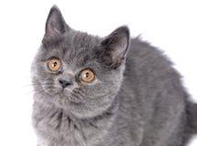 Gato británico - gatito. Imágenes de archivo libres de regalías