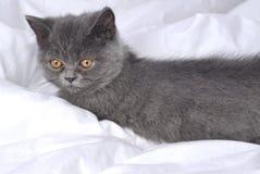 Gato británico - gatito. Fotos de archivo