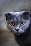 Gato británico gris que miente en la hierba verde, fondo, cierre divertido lindo del gato para arriba, gato juguetón joven en una Fotos de archivo