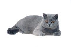 Gato británico joven Foto de archivo
