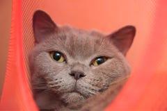 Gato británico lindo aislado en rojo Imagen de archivo