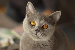 Gato británico lindo del shorthair que mira fijamente la cámara foto de archivo