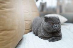 Gato británico ofendido con los ojos oro-coloreados Se sienta en el sofá en la casa Foto de archivo libre de regalías