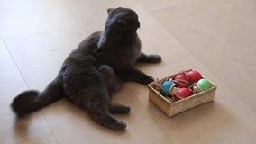 Gato británico que juega con los huevos de Pascua almacen de metraje de vídeo