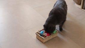 Gato británico que juega con los huevos de Pascua almacen de video