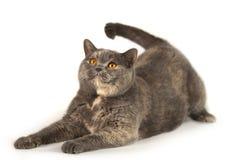 Gato británico que juega en un fondo blanco Fotos de archivo