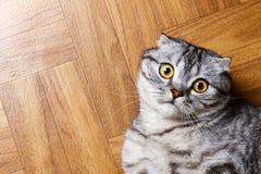 Gato británico que miente en el piso gato escocés sorprendido en el piso con el espacio de la copia Imagen de archivo