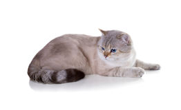 Gato Británicos Shorthair Coloree el punto sombreado de oro del sello Aislado Imagen de archivo