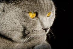 Gato britânico Fotografia de Stock