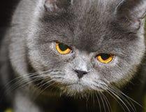 Gato britânico. imagem de stock royalty free