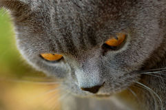 Gato britânico Foto de Stock Royalty Free