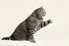 Gato britânico Foto de Stock