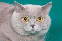 Gato britânico Imagens de Stock Royalty Free