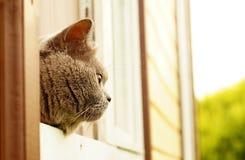 Gato britânico agradável do cabelo curto que espreita fora da janela Fotografia de Stock Royalty Free
