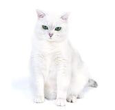 Gato britânico branco Fotos de Stock Royalty Free