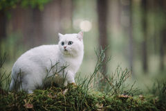 Gato britânico branco do shorthair na floresta do outono Fotografia de Stock