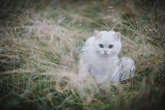 Gato britânico branco do shorthair na floresta do outono Imagens de Stock Royalty Free