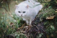 Gato britânico branco do shorthair na floresta do outono Fotos de Stock Royalty Free