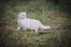 Gato britânico branco do shorthair na floresta do outono Imagem de Stock Royalty Free