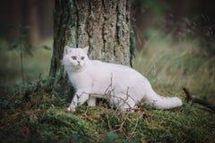 Gato britânico branco do shorthair na floresta do outono Fotos de Stock