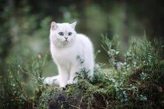 Gato britânico branco do shorthair na floresta do outono Foto de Stock Royalty Free