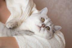 gato britânico branco do shorthair nas mãos de uma mulher em um roupão Fotografia de Stock