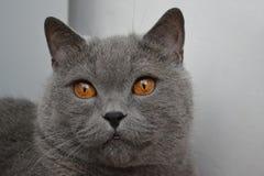 Gato britânico com olhos dourados fotos de stock royalty free