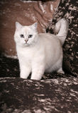 Gato britânico da chinchila Imagem de Stock