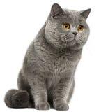 Gato britânico de Shorthair, 2 anos velho Imagem de Stock Royalty Free