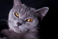 Gato britânico de Shorthair fotos de stock
