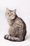 Gato britânico de Shorthair Foto de Stock Royalty Free