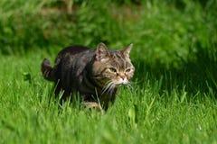 Gato britânico de Shorthair Foto de Stock