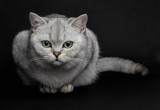 Gato britânico de Shorthair Fotografia de Stock Royalty Free