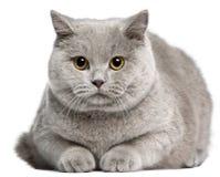 Gato britânico de Shorthair, 8 meses velho Foto de Stock