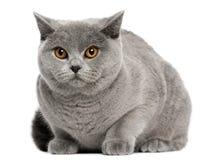 Gato britânico de Shorthair, 8 meses velho, sentando-se Fotos de Stock Royalty Free