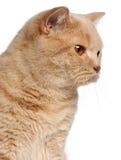 Gato britânico de Shorthair do gengibre, o 1 anos de idade Imagens de Stock Royalty Free