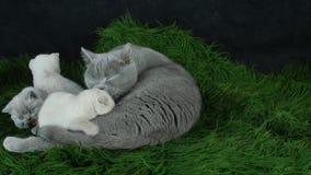 Gato britânico de Shorthair que alimenta seus gatinhos em uma cobertura verde macia video estoque