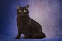 Gato britânico do chocolate no fundo roxo fotos de stock